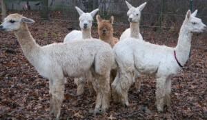 Our Alpacas